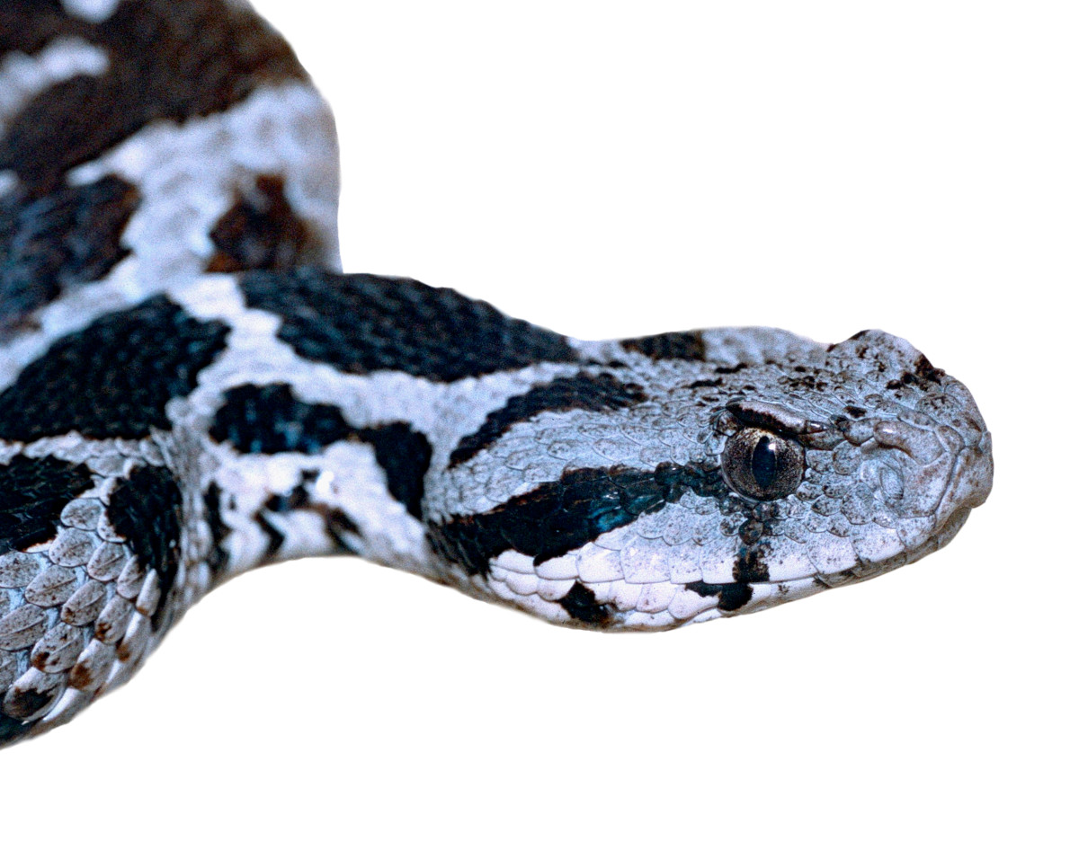 By Bernard DUPONT from FRANCE - Moorish Viper (Macrovipera mauritanica) juvenile (captive specimen), CC BY-SA 2.0, https://commons.wikimedia.org/w/index.php?curid=40773788
