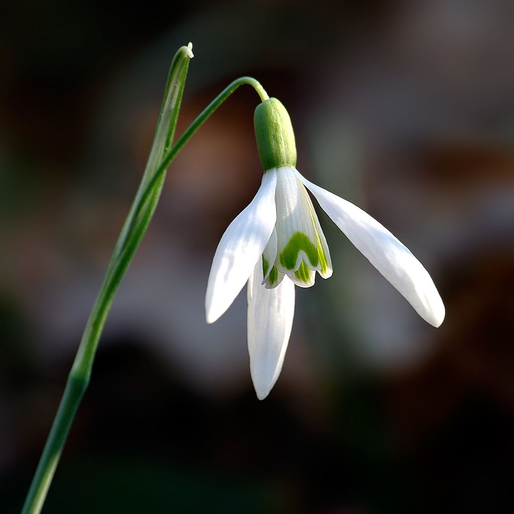 Galanthus nivalis, fot. André Karwath aka Aka [CC BY-SA 2.5 (https://creativecommons.org/licenses/by-sa/2.5)], from Wikimedia Commons